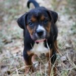 Six Beagle Mix Puppies saved from Euthanasia