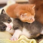 Two Special Cerebellar Hypoplasia Kittens Join PKR