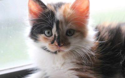 Home For The Holidays Cat Adoption Event