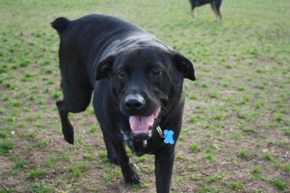adopt rosie the dog