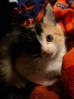 adopt asana the cat